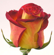 CIRCUS BICOLOR ROSES Wholesale perfect bicolor roses now available to your florist shop in any state of the USA and Canada, fresh cut roses to support your business... Latin Lady bicolor roses, Konfetti bicolor roses, Queen Amazone bicolor roses, New Fashion bicolor... Rose Connection Inc. Los Angeles California offers the most fresh and premium bicolors flowers in USA and Canada, wholesale roses to florist shop at wholesale prices Fedex Free delivery included