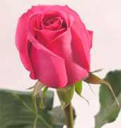 BUGATTI HOT PINK ROSES Wholesale perfect pink roses now available to your florist shop in any state of the USA and Canada, fresh cut roses to support your business... Pink wholesale roses, Konfetti bicolor roses, Queen Amazone bicolor roses, New Fashion bicolor... Rose Connection Inc. Los Angeles California offers the most fresh and premium pink flowers in USA and Canada, wholesale pink roses to florist shop at wholesale prices Fedex Free delivery included