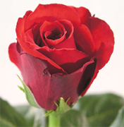 OPIUM RED ROSES VIP long stem florist red roses, the best collection of red roses in USA and Canada now available to your florist shop... Black Magic red roses, Rouge Baiser red roses, Red France red roses, Queen 2000 red roses... Rose Connection Inc. Los Angeles California offers the most fresh and premium red flowers in USA and Canada, wholesale roses to florist shop at wholesale prices Fedex Free delivery included