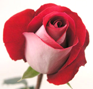 LATIN LADY BICOLOR ROSES Wholesale perfect bicolor roses now available to your florist shop in any state of the USA and Canada, fresh cut roses to support your business... Latin Lady bicolor roses, Konfetti bicolor roses, Queen Amazone bicolor roses, New Fashion bicolor... Rose Connection Inc. Los Angeles California offers the most fresh and premium bicolors flowers in USA and Canada, wholesale roses to florist shop at wholesale prices Fedex Free delivery included