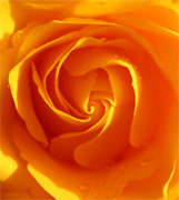 Yellow roses, premium long stem yellow roses to support your florist shop in USA and Canada, Aalsmeer Gold yellow roses, Golda yellow roses, Marie Claire yellow roses direct from our farms in Colombia and Ecuador, vase life 10 to 12 days... Rose Connection offers the best and most fresh yellow roses in USA, wholesale yellow roses, wholesale prices and Fedex free delivery included...