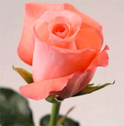 SAPHIR SALMON VIP ROSES long stem florist salmon roses now available at wholesale basis for your florist shop in USA and Canada... Salmon roses, Miracle orange roses, Coral Sea orange roses, Sombrero orange roses,... Rose Connection Inc. Los Angeles California offers the most fresh and premium salmon flowers in USA and Canada, wholesale salmon roses to florist shop at wholesale prices Fedex Free delivery included