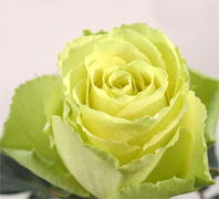 LIMBO NOVELTY ROSES Wholesale perfect novelty roses now available to your florist shop in any state of the USA and Canada, fresh cut novelty roses to support your business... Latin Lady bicolor roses, Konfetti bicolor roses, Queen Amazone bicolor roses, New Fashion bicolor... Rose Connection Inc. Los Angeles California offers the most fresh and premium novelty roses and flowers in USA and Canada, wholesale roses to florist shop at wholesale prices Fedex Free delivery included