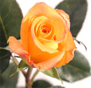 MIRACLE Orange roses, long stem florist orange roses now available at wholesale basis for your florist shop in USA and Canada... Orange France roses, Miracle orange roses, Coral Sea orange roses, Sombrero orange roses,... Rose Connection Inc. Los Angeles California offers the most fresh and premium orange flowers in USA and Canada, wholesale roses to florist shop at wholesale prices Fedex Free delivery included